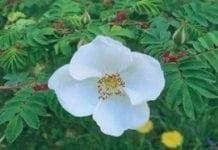 Róża czteropłatkowa