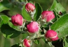 Różowy pąk nadchodzi, a zimno za oknem