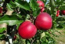 Najpopularniejsze odmiany jabłek według ukraińskich sadowników