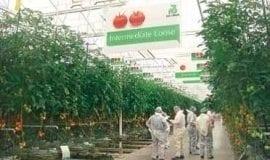 Pomidory z holenderskiej puli odmian