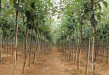 Odmiany drzew owocowych w ofercie polskich szkółek