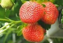 Ekologiczna truskawka. Jak nawozić uprawy by uniknąć problemów?