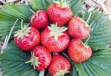 Odmiany truskawki hodowli Instytutu Ogrodnictwa