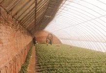 Chińskie cieplarnie wystarczą jagodowym?