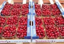 Konsorcjum zrzeszające producentów czereśni. Wyzwania i sukcesy