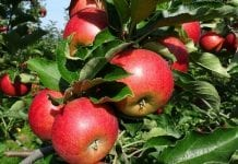 Generowanie jakości owoców