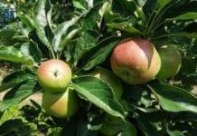 Wskazówki 2014/21 – intensywny wzrost owoców V