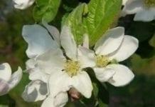 GUS: ocena przezimowania drzew i krzewów owocowych
