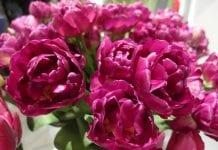 Produkcja cebulek kwiatowych wciąż rośnie