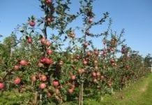 Różnice w prognozach zbiorów jabłek w Polsce
