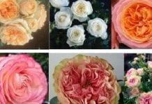 3 tygodnie trwałości róż od Rosy Eskelund
