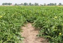 BASF zaprasza na Pomidorowe Warsztaty Polowe
