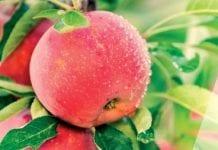 Przybywa jabłek odmiany Maribelle