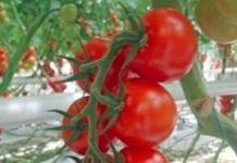 Pomidory spod elektrowni