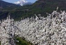 W Południowym Tyrolu zakwitly już jabłonie
