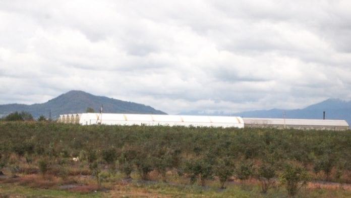 Plantacja doświadczalna borówki w Megrelii - zachodnia Gruzja