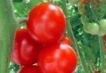 Brytyjskie inwestycje w pomidory