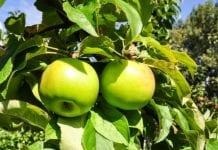 'Chopin' – nowa odmiana jabłoni z SGGW