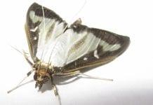 Motyl z Azji niszczy krakowskie bukszpany
