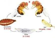 Czereśniom zagraża Drosophila suzukii. Włosi mobilizują siły