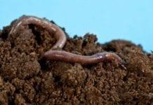 Dżdżownice powstrzymują inwazje ślimaków