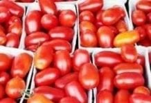W Amsterdamie odbędzie się pomidorowa bitwa