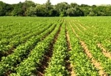 Rosja zwiększy produkcję ziemniaków