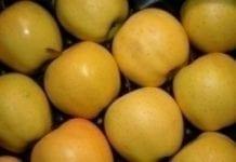 Lepsze zbiory jabłek w Nowej Zelandii