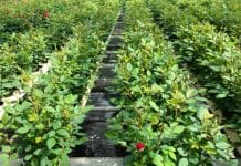 Roses Forever proponuje róże… plantatorom ziół. Jadalne róże