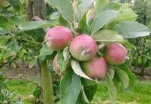 Lepsze zbiory jabłek, gorsze truskawek, porzeczki, wiśni i śliwek