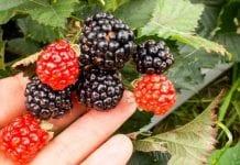 Szkółka jagodowych – z licencjami i in vitro
