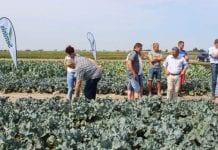 Letni pokaz kalafiorów i brokułów