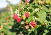 MSZ wycofuje się z dotowania plantacji malin na Ukrainie