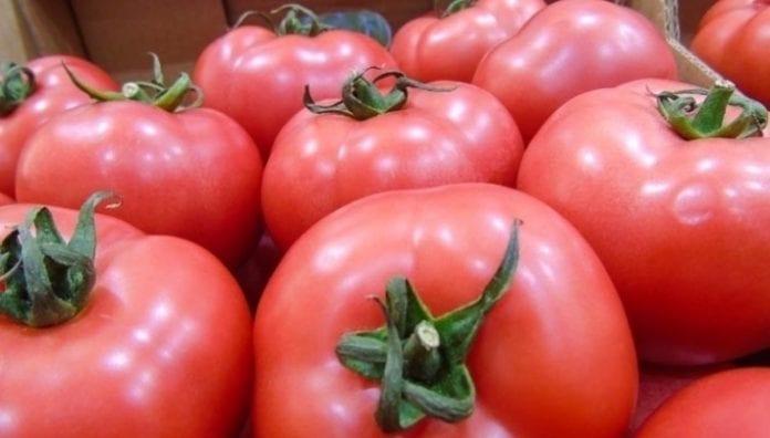 Zbiory pomidorów w Europie