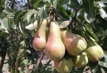 Stan zapasów unijnych jabłek i gruszek