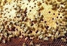 Badania pszczół w Europie