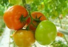 Ceny rosyjskiego pomidora