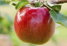 'Rave' – nowa odmiana jabłoni