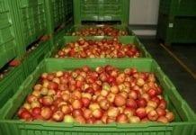 Prezes Związku Sadowników RP: udane zbiory jabłek