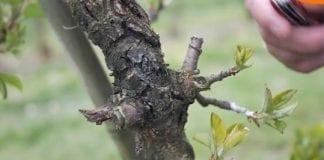 Ochrona sadu przed chorobami kory i drewna