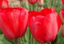 W Broniszach oferta kwiatów na Dzień Kobiet