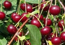 GUS: tegoroczne zbiory owoców będą rekordowe