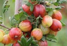 Uprawa agrestu może się opłacać. 8 euro za pierwsze owoce