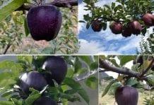 Jabłka: czarne diamenty z Chin