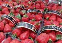 Włoska produkcja truskawek