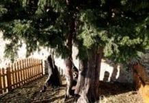 Tysiącletnie drzewa w Hiszpanii