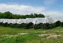 6600 drzew czereśni na hektar