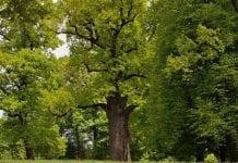 Dąb Józef z Podkarpacia wybrany Europejskim Drzewem Roku