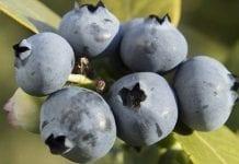 Australijska odmiana borówki podkręci wyniki Nowej Zelandii