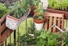 Na balkonie zamiast pelargonii – pomidory, ziemniaki i tykwa